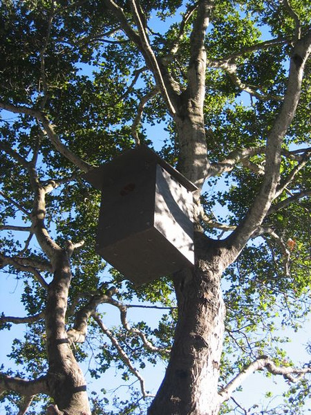 A barn owl box up in a coast live oak tree.