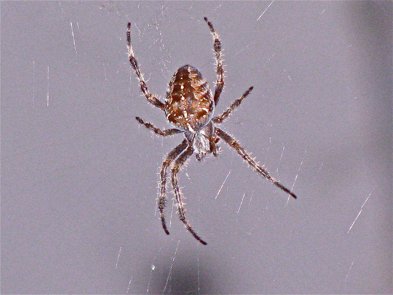 The vast majority of spiders are harmless. Beneficial in our gardens and vineyards, they feed on and control pest insects.