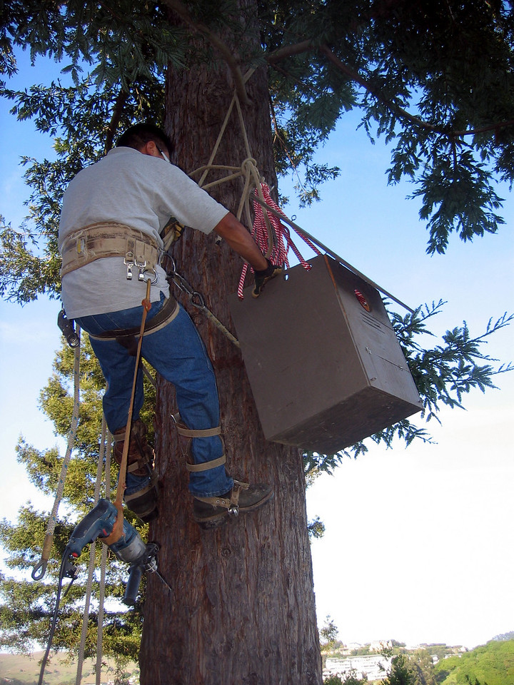 Putting a barn owl box up in a redwood tree at a vineyard.