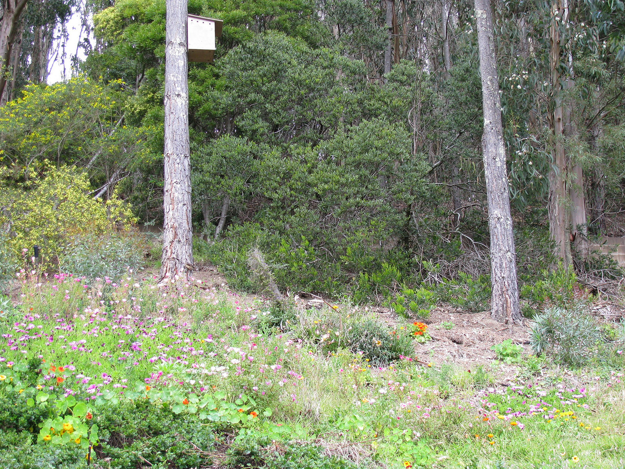 A barn owl box up in a pine tree.  A barn owl family eats thousands of rodents in a year.