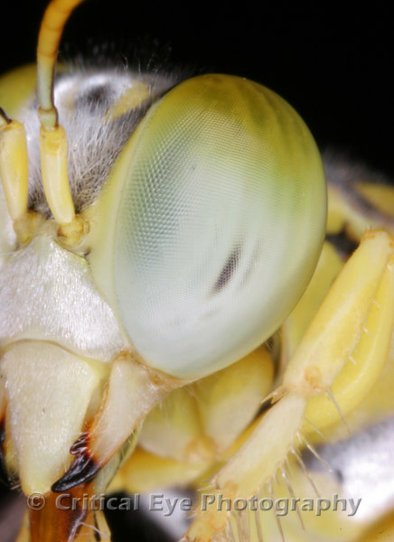 A small bee's eye showing compound structure, setae