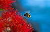 A bumble bee, laden with pollen, feeds on a Pohutakawa tree. Auckland, New Zealand