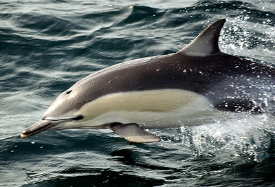 Common Dolphin, New Zealand