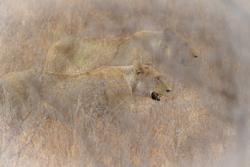 Hunting Lions.  It almost looks like a double exposure, and I ma not sure that I saw the second one when taking the photo.  BUt if you look at the markings and the ears, you see two distinctly different female lions.  the softness of the image enhances the effect.