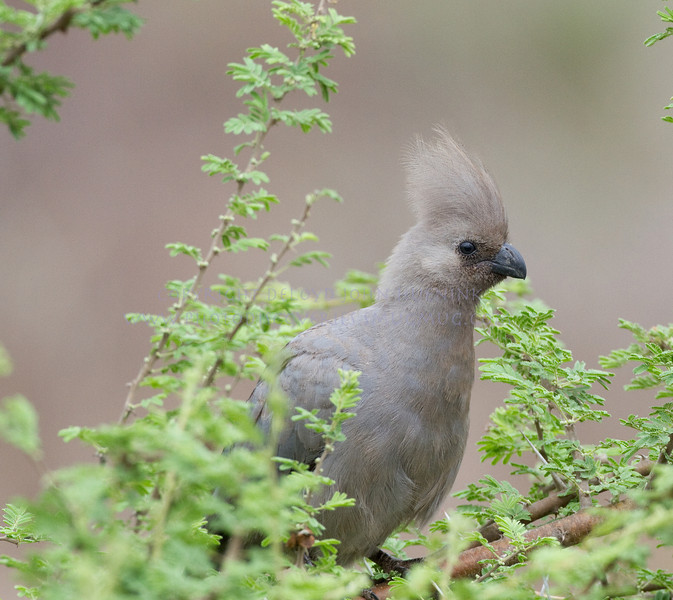 Grey Go-Away Bird.  plentiful and noisy.  there are great stories of how they got their name.