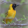 Lesser Masked Weaver.  More of a mask that the others.  Mask extends into mid-crown.  pale eyes.  Lives in colonies.