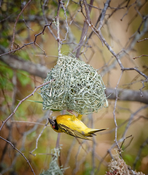 Southern Masked Weaver.  Sparrow sized.  Create a neatly woven nest.  the red eye distinguishes it from the Lesser Masked weaver.