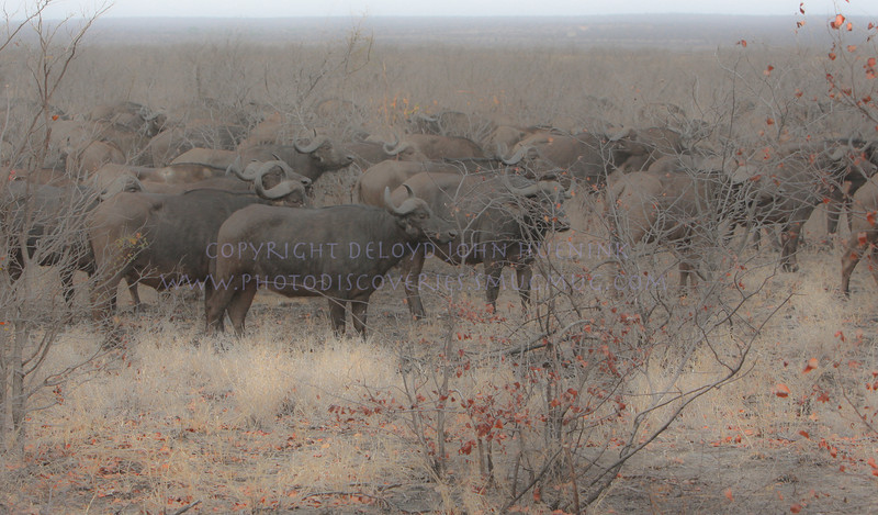 African Buffalo.  This was a herd of 600 or more, a truly imposing sight.