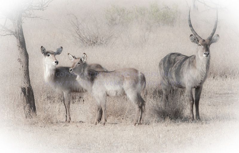 Waterbuck Family.  Mom, dad and Baby.   Beautiful creatures.  Note the foprward curving horns on the male.