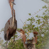 Goliath Heron...mom and 2 kids.