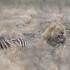 Lion at Zebra Kill.  The females have made the kill a short time ago.  The male eats first, then the senior female, then the other females, finally the cubs.