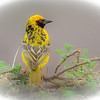 Village Weaver.  A delightful and very active small bird.