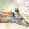 giraffe.  Usually photographer vertically, this horizontal shot gives a different perspective...broughtabout by a food shortage high in the trees...