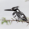 Pied Kingfisher.  For years I have tried to get a great photo of a kingfisher...finally...this trip I got many, of several varieties.