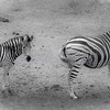 Zebra...mom and child.