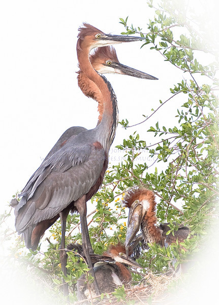 Goliath Heron Family.  Almost comical, and very big.  The male stands about 6 feet tall.  The largest heron in Kruger Park.