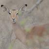 Kudu.  beautiful.  Graceful, Inquisitive, BIG ears.