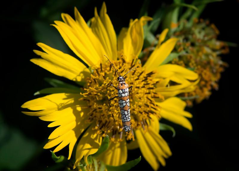 Ermine Moth (Ailanthus webworm)
