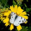 Checkered White