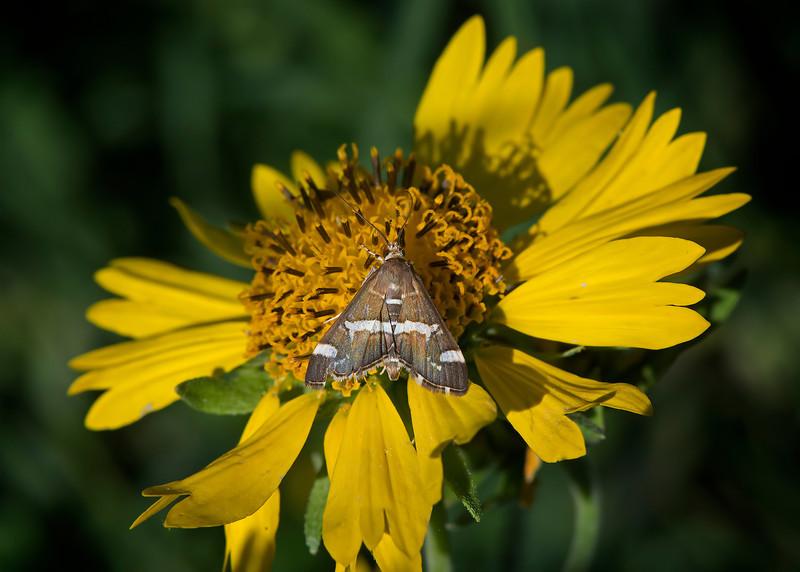 Small Triangular Moth