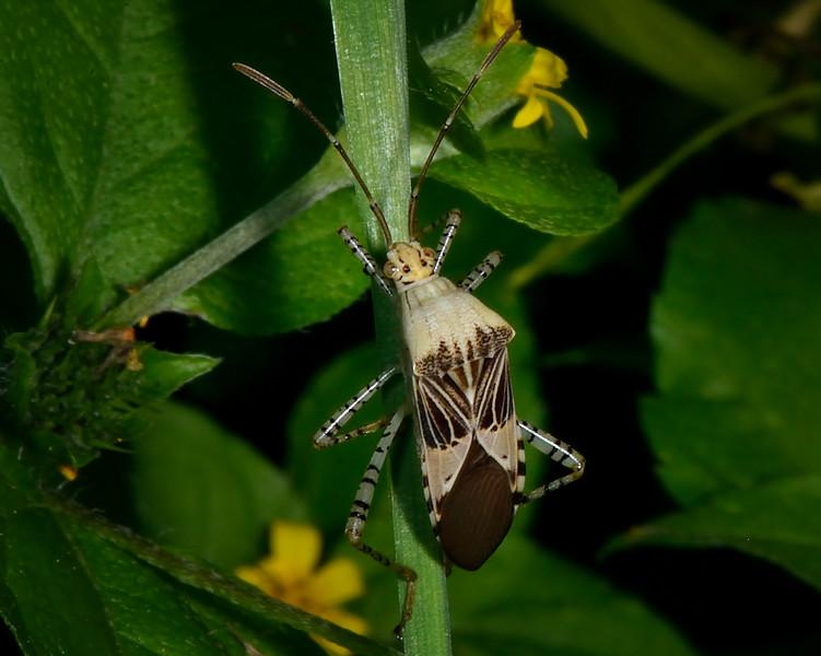 Spot-sided Coreid (Hypselonotus punctiventris)