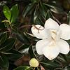 Green Anole on Magnolia Blossom