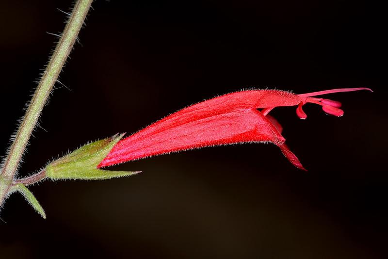 Cedar Sage (Salvia roemeriana)