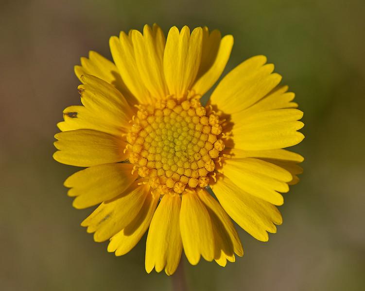 Huisache Daisy (Amblyolepis setigera)