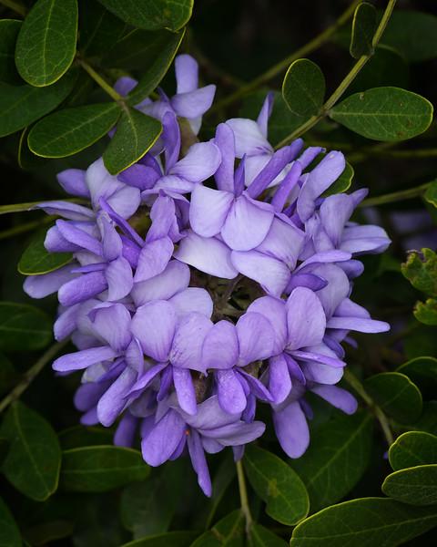 Texas Mountain Laurel (Sophora secundiflora)