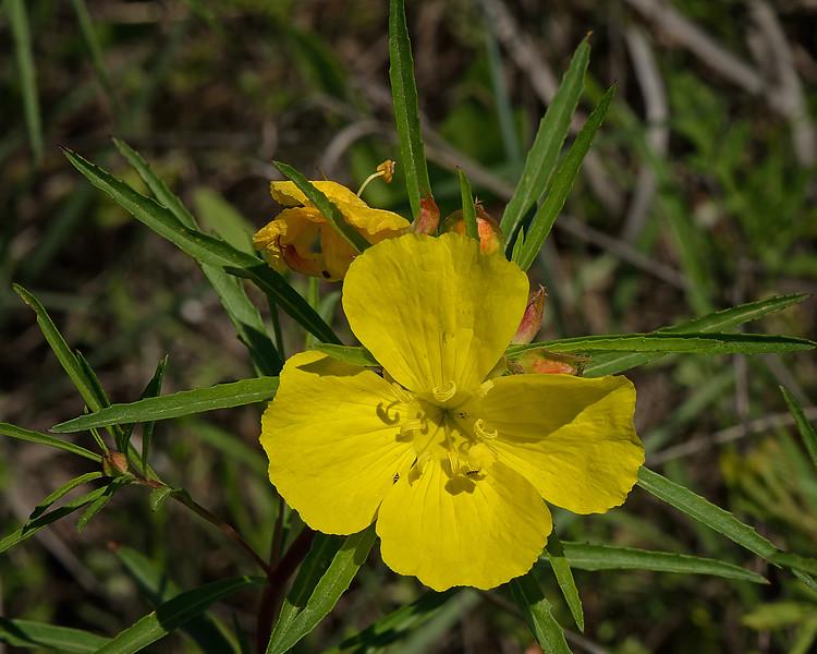 Berlandier's Sundrops (Calylophus berlandieri)