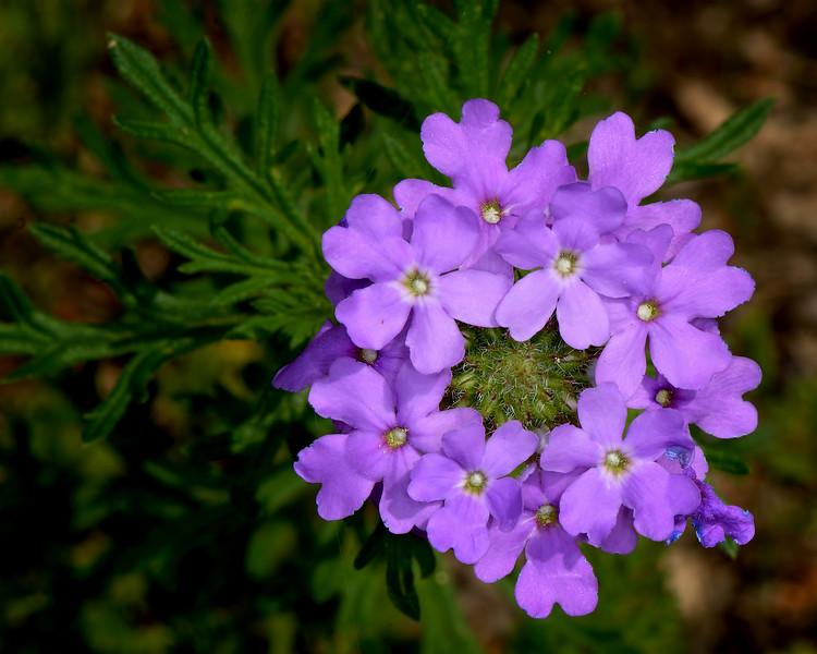 Prairie Verbena (Verbena bipinnatifida)