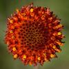 Perfumeballs (Rayless Gaillardia) (Gaillardia suavis)