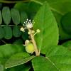 Bush croton (Croton fruticulosus)