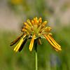 Huisache Daisy (Amblyolepis setigera) - opening inflorescence