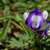 Lindheimer's Milkvetch (Astragalus lindheimeri)