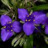 Texas Spiderwort (Tradescantia humilis)