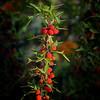 Agarita (Mahonia trifoliolata)