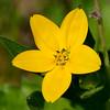 Texas Yellow Star (Lindheimera texana)