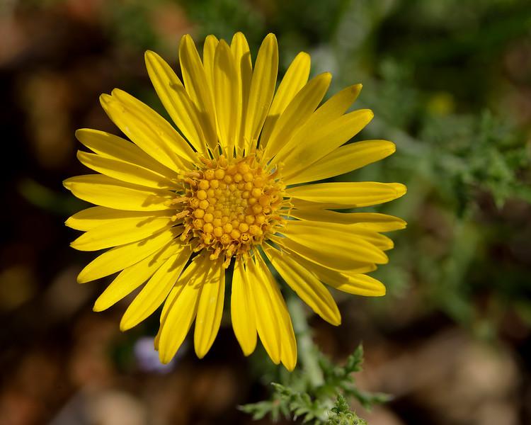 Spiny Daisy (Spiny Aster) (Machaeranthera pinnatifida)