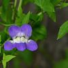 Snapdragon Vine (Maurandella antirrhiniflora)