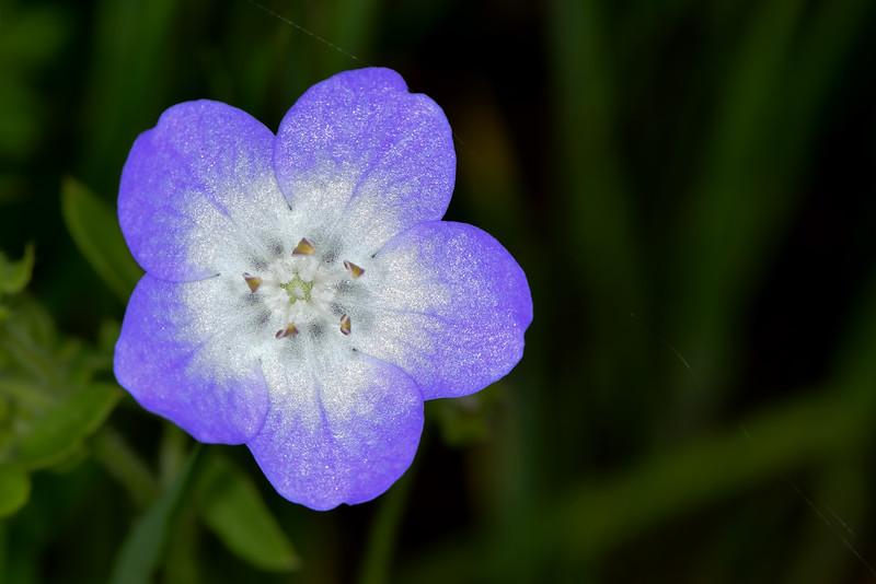 Texas Baby Blue Eyes (Nemophila phacelioides)