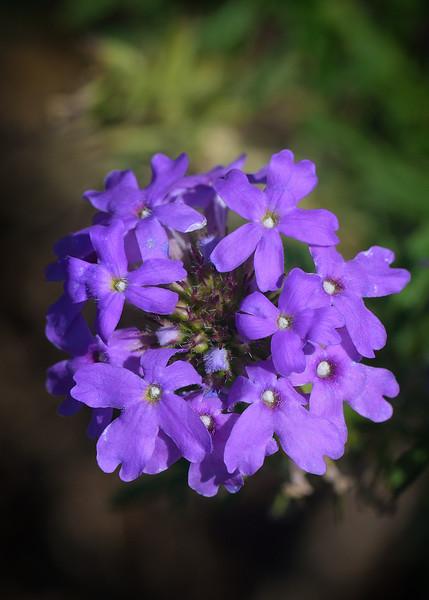 Prairie Verbena (Glandularia bipinnatifida)