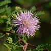 Fragrant Mimosa (Mimosa borealis )