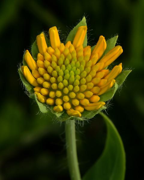Engelmann's Daisy (Engelmannia peristenia)