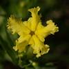 Fringed Puccoon (Lithospermum incisum)
