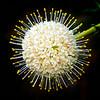 Buttonbush (Cephalanthus occidentalis)