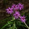 Wooly ironweed (Vernonia lindheimeri)