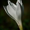 Prairie (Rain) Lilly (Cooperia pedunculata)