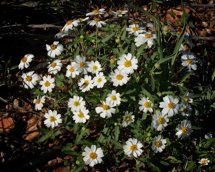 Plains Blackfoot Daisy (Melampodium leucanthum)