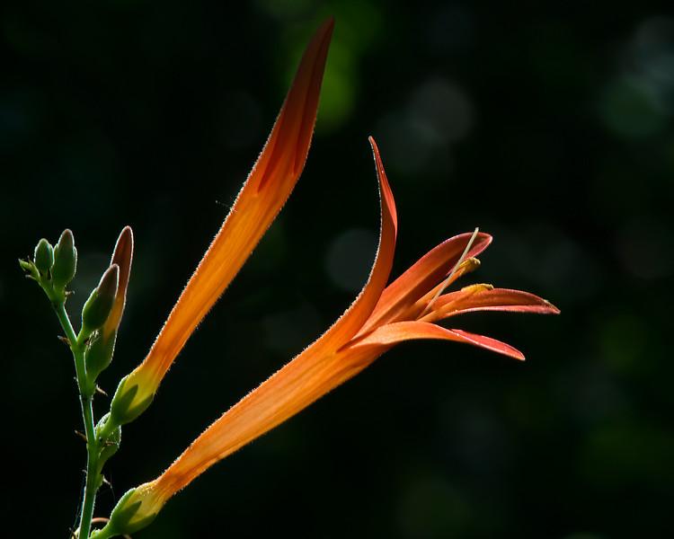 Flame Acanthus (Anisacanthus quadrifidus var. wrightii)